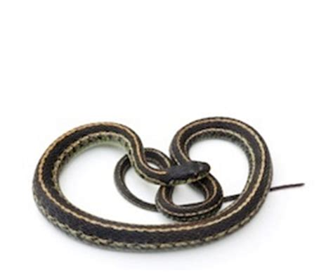 Garden Snakes For Sale Snakes For Sale Reptiles For Sale