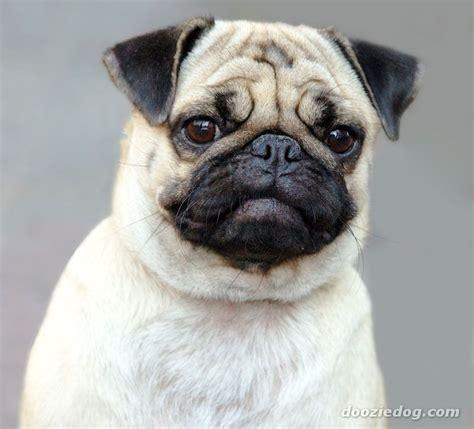 pug breed dogs pug 6 jpg