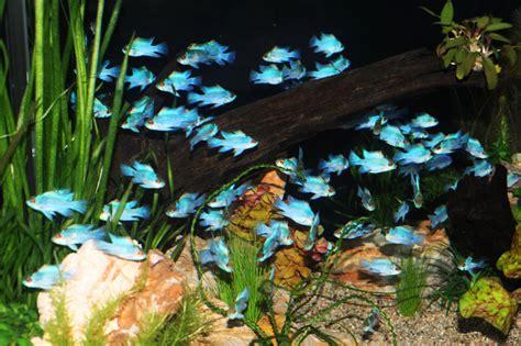 blue ram electric blue ram cichlid aquariums fish