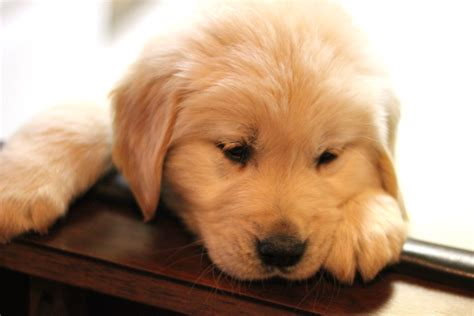 golden retriever puppies how much how much does a golden retriever cost cheaphowmuch