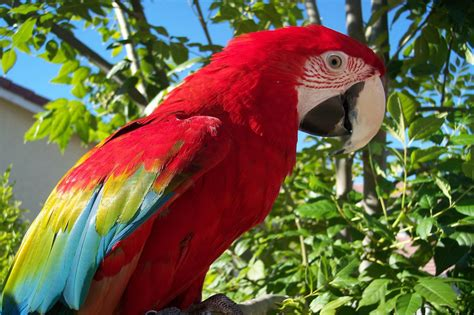 scarlet macaw beauty of bird