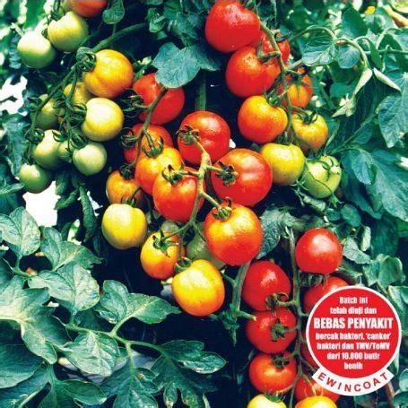 Benih Tomat Permata tomat permata f1 jualbenihmurah