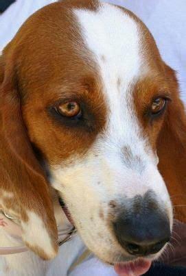 beagle basset hound puppies 1000 ideas about beagle mix puppies on beagle mix puppies and puppies