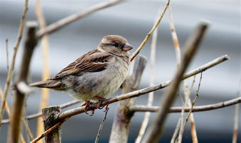 keep ground feeding sparrows around farm and dairy