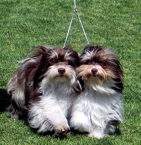 havanese rescue clubs resources arizona rgang havanese