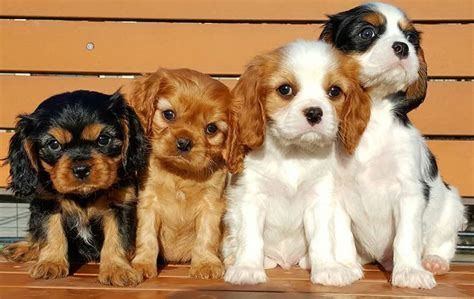 all small breeds small breeds list of all small dogs small hypoallergenic breeds