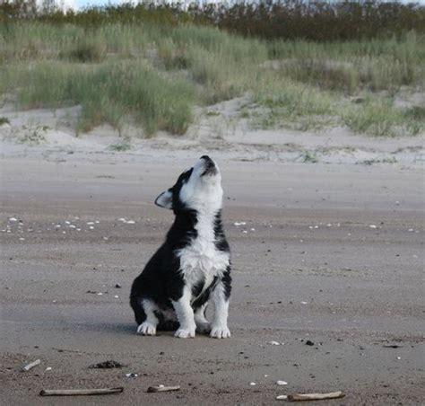 husky puppy howling husky puppy howling husky dogs
