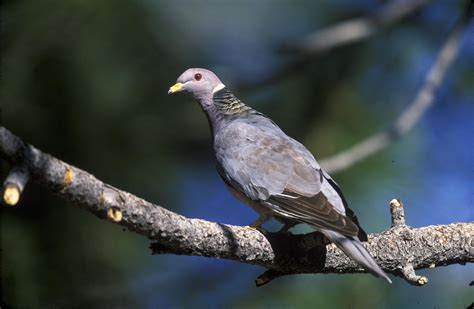 band tailed pigeons monitored