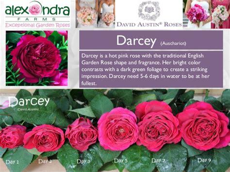 Darcey (David Austin)