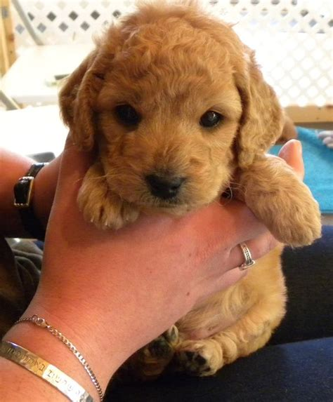 mini goldendoodle new our new baby mini goldendoodle goldendoodles