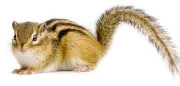 scoiattolo giapponese gabbia scoiattolo striato tamia aae onlus