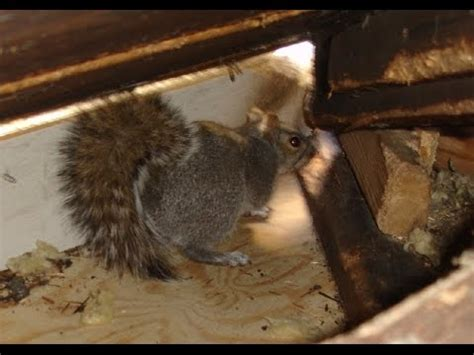 squirrels playing fighting breeding in my attic ways to