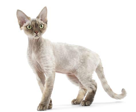 Cat breeds / Devon Rex   Royal Canin