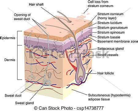 cross section of human skin with labels stock