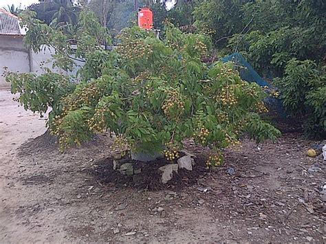Pupuk Tanaman Goldstar pohon kelengkeng new jualbenihmurah