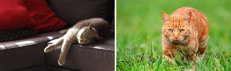chat d int 233 rieur ou chat d ext 233 rieur mamaw fr
