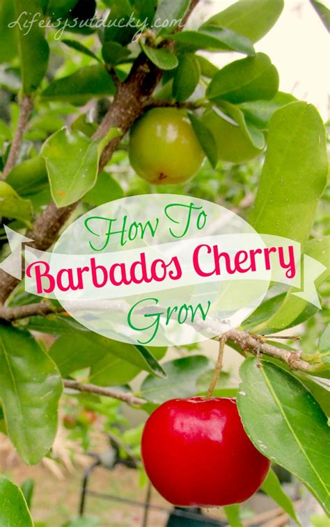 Barbados Cherry how to grow barbados cherry is just ducky