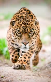 Describe A Jaguar Jaguar Informaci 243 N Y Caracter 237 Sticas Biolog 237 A