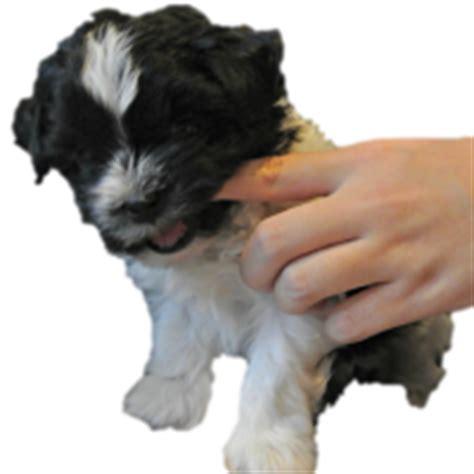 shih tzu puppy biting shih tzu puppy tips and tricks