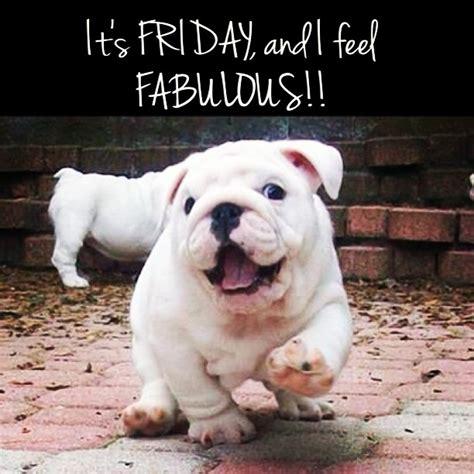 friday puppy fabulous bulldog friday bully puppies