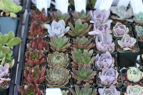 secrets  growing succulent plants indoors gardenista