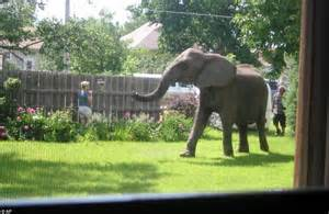 Elephant In The Garden by Pictured The Elephant That Did A Nelly Said Goodbye To The Circus And Ended Up In Someone S