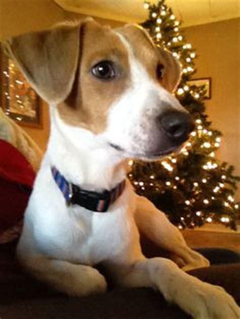 pomeranian beagle mix pomeagle puppies half pomeranian half beagle pets pomeranians