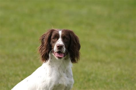 Do Springer Spaniels Shed by Sporting Parent Clubs In The Us Huntemup