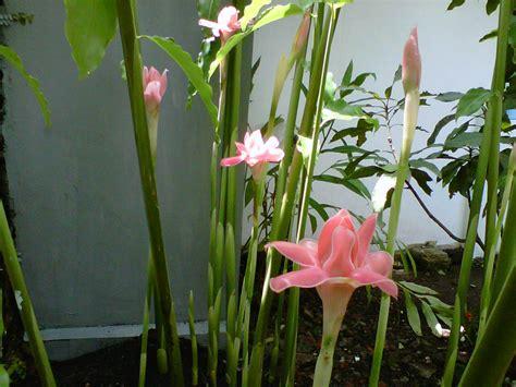 Tanaman Serai Wangi By Bb Plant jenis tanaman yang dibenci nyamuk