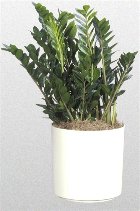 inside urban green low light low maintenance dracaena bowl 24 best my job tropical plants images on pinterest