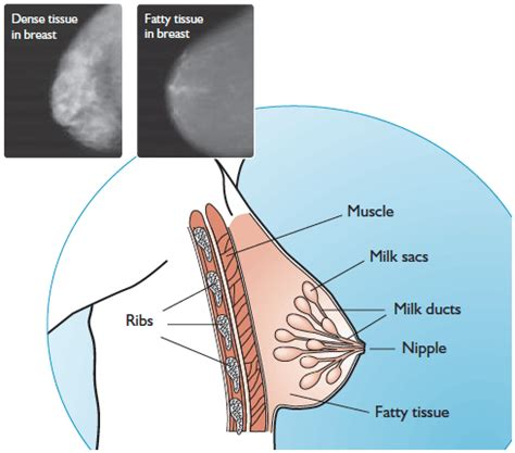 diagram of breast tissue more about breast screening and breastscreen aotearoa