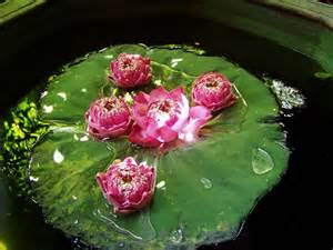 Lilly And Lotus File Water Lotus Flower Jpg Wikimedia Commons
