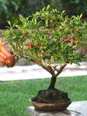 melograno nano in vaso il melograno pianta arbustiva verdeblog