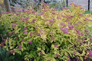 spiraea japonica goldflame landscape architect s pages