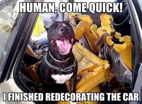 Dog In Car Meme - dog decorated the car what breed is it