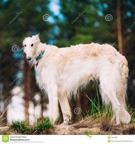 puppy in russian white russian borzoi in stock image image 59219297
