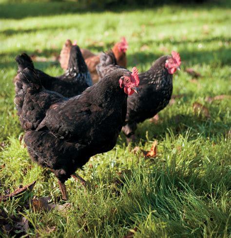 friendliest chicken breed hens 28 images wyandotte