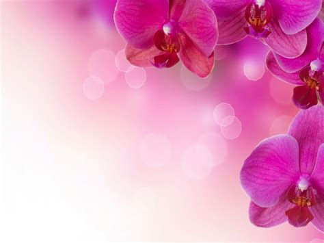 beautiful purple orchid flowers hd wallpaper