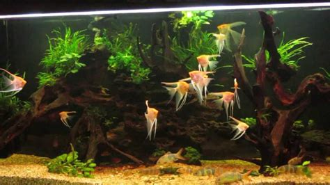 aquascape fish imports fish for aquascape aquascape fish imports coldwater