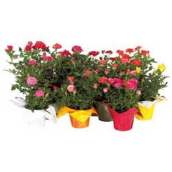 mini rose bush rona
