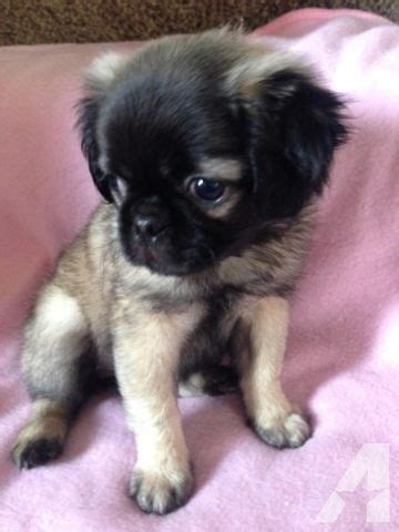 fluffy pug adorable and fluffy pug shih tzu mix pud zu for sale in corona california