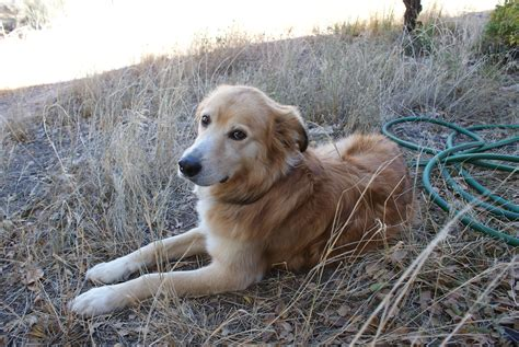new mexico golden retriever rescue golden retreiver rescue of new mexico 187 2014 187 november