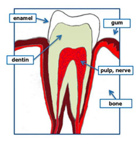root canal diagram what is a root canal what is endodontics news