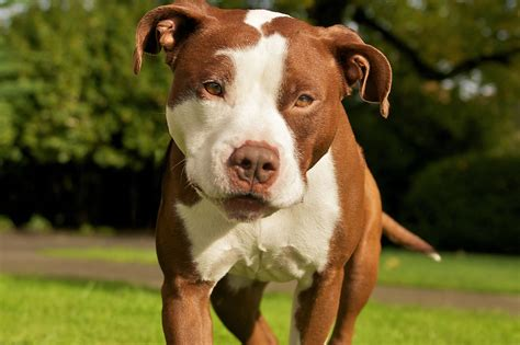 pit puppy pit bull breed details and price of fighting dogs