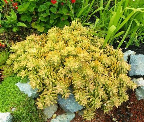 piante grasse pendenti con fiori piante grasse pendenti piante grasse coltivare piante
