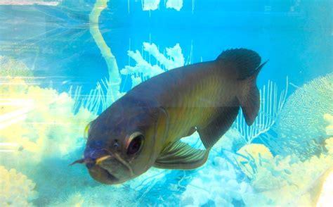 Bibit Ikan Arwana Di Jambi ikan ikan air tawar jambi inipun terancam punah mongabay co id