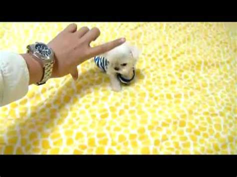Cheap Dogs That Don T Shed by Tea Cup Maltese Tiny Size Dogs For Sale