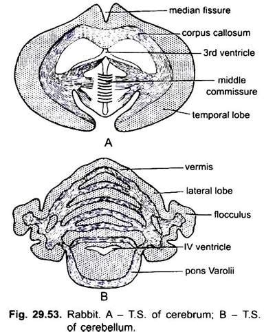rabbit nervous system diagram image collections how to