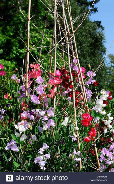 summer climbing plants lathyrus sweet peas pea grow growing up wigwam plant