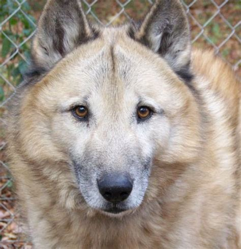 german shepherd wolf mix german shepherd timber wolf hybrid